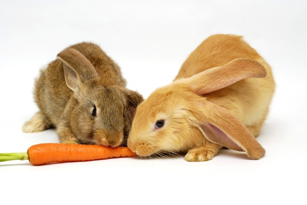 rabbits eat carrot