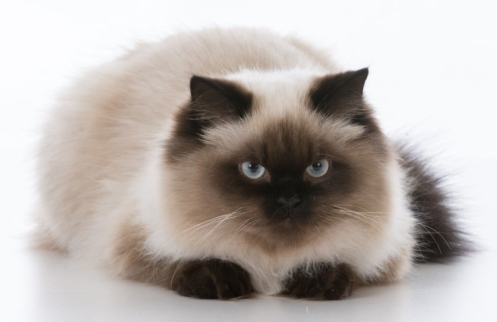ragdoll angry cat white background