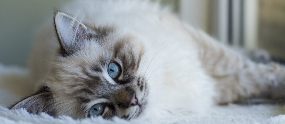 ragdoll kitten sleeps e1584258363628