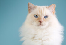 Ragdoll Cat Care Guide & Information
