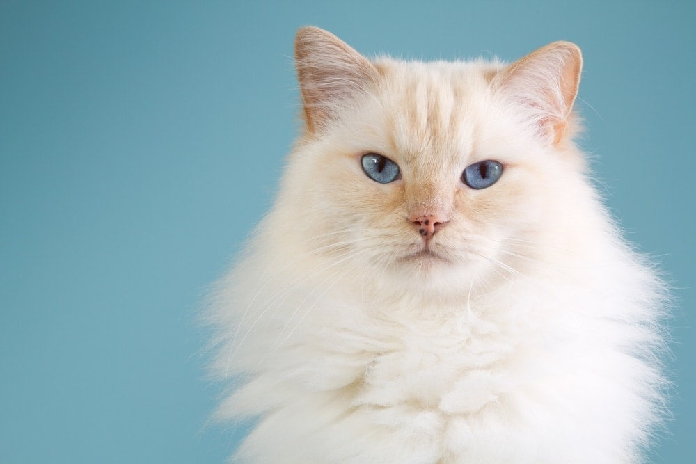 ragdoll red cat
