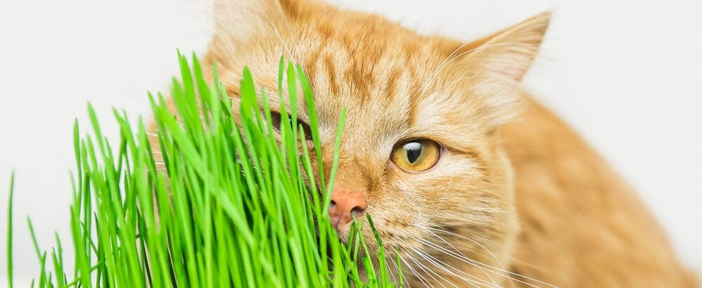 red cat eats lot of grass e1583486954241