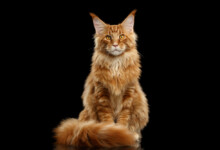 Maine Coon Cat Care Guide & Information