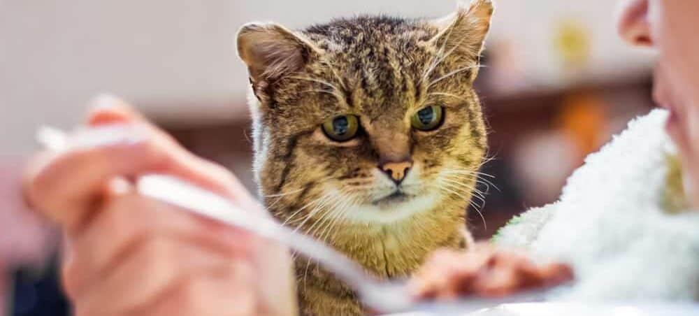 sad hungry cat e1583398470152