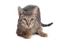 Savannah Cat Care Guide & Information