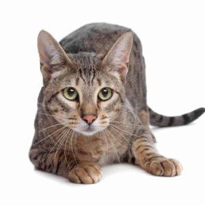 Savannah Cat - Information & Care Guide