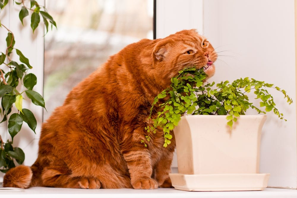 scottish red cat eats plant