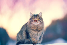 Siberian Cat Care Guide & Info