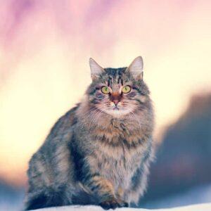 Siberian Cat - Info & Care Guide