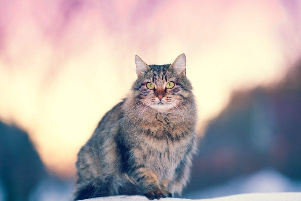siberian cat winter forest