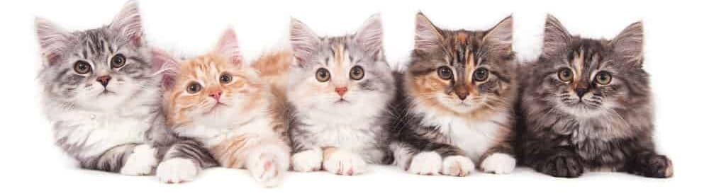 siberian kittens five e1584264341682