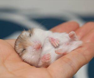 sleeping baby hamster