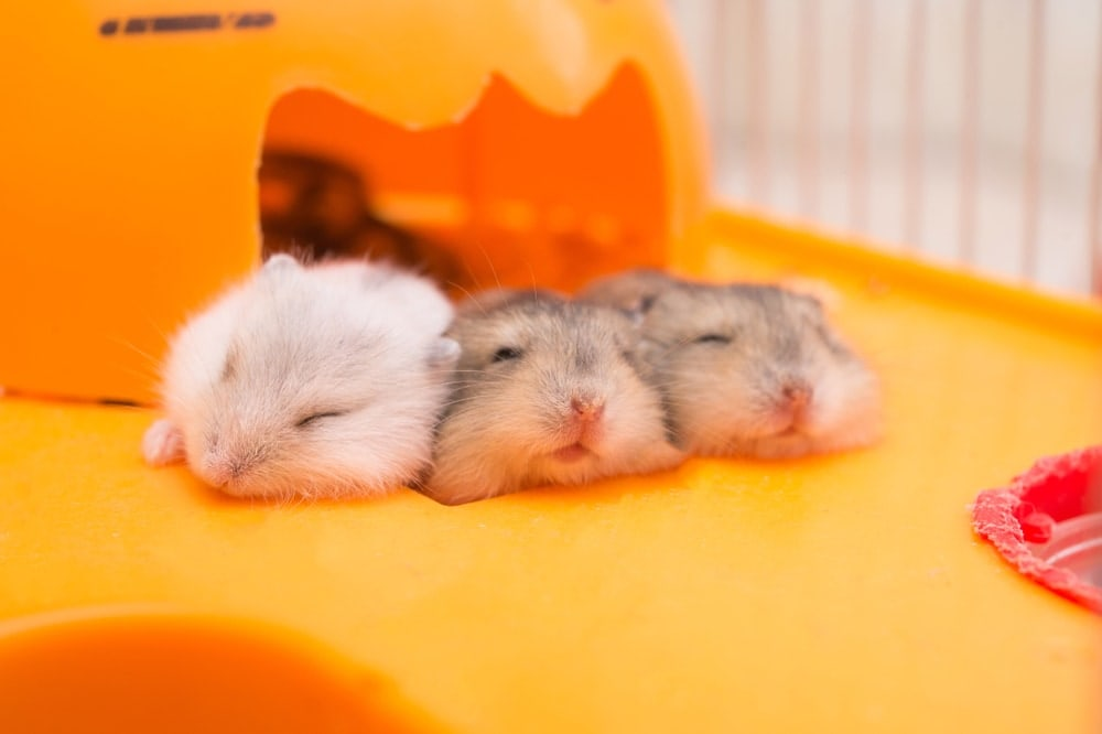 small hamsters