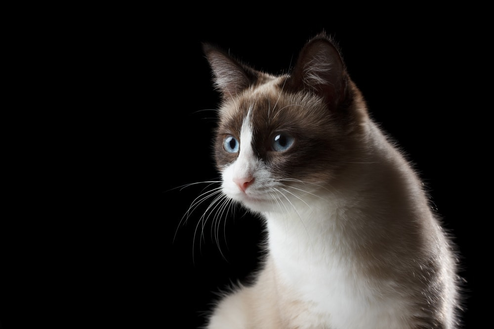 snowshoe cat black background