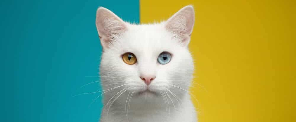 two colored eyes cat e1584773879933