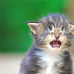 Do Cats Cry? What You Need to Know About It