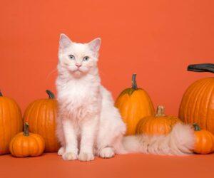 white cat and pumpkin