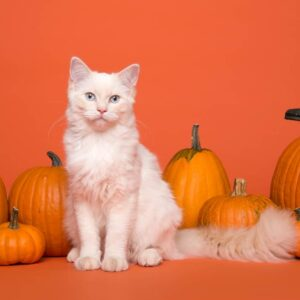 Can Cats Eat Pumpkin: Is It Safe?