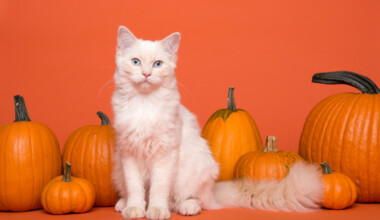 white cat and pumpkin