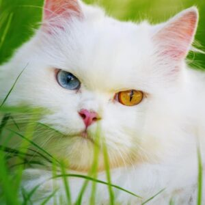 Why Do Some Cats Have Two Different Colored Eyes?