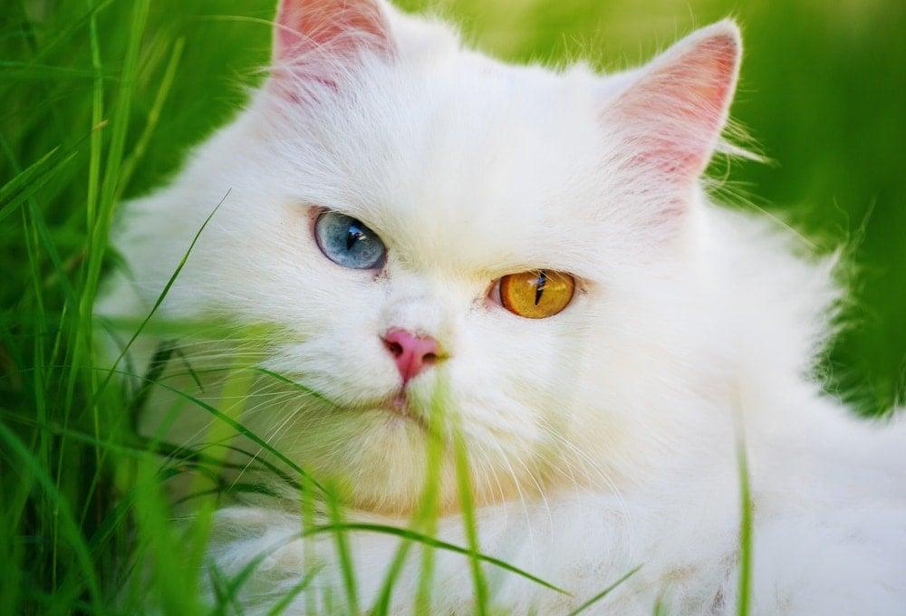 white cat in a grass