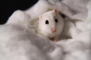 white hamster hiding