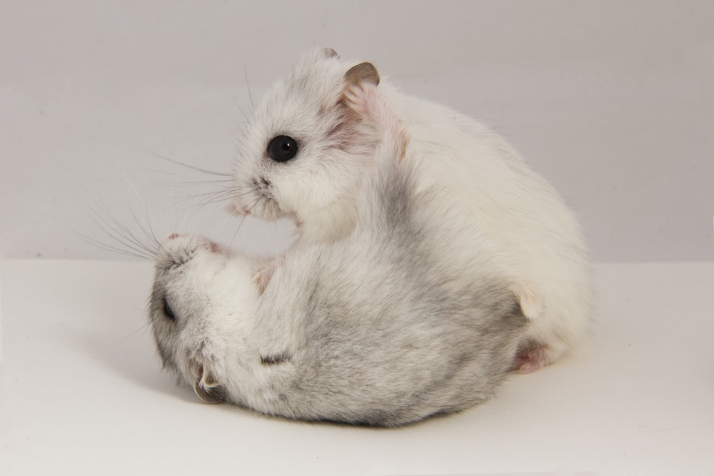 white hamsters fight