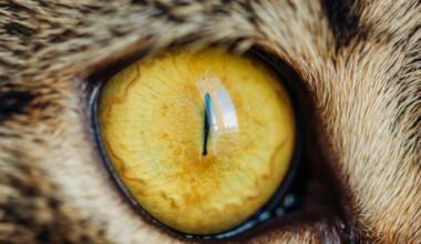 yellow pupils cat