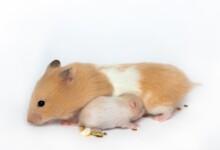 Hamster Gestation Period - Pregnant Hamsters