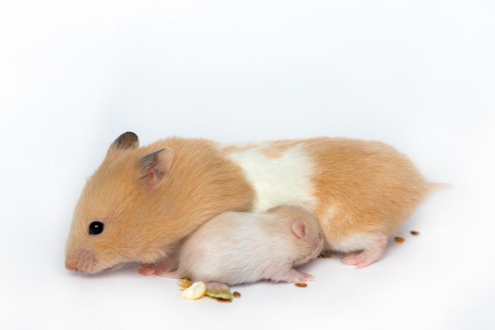 hamster and baby