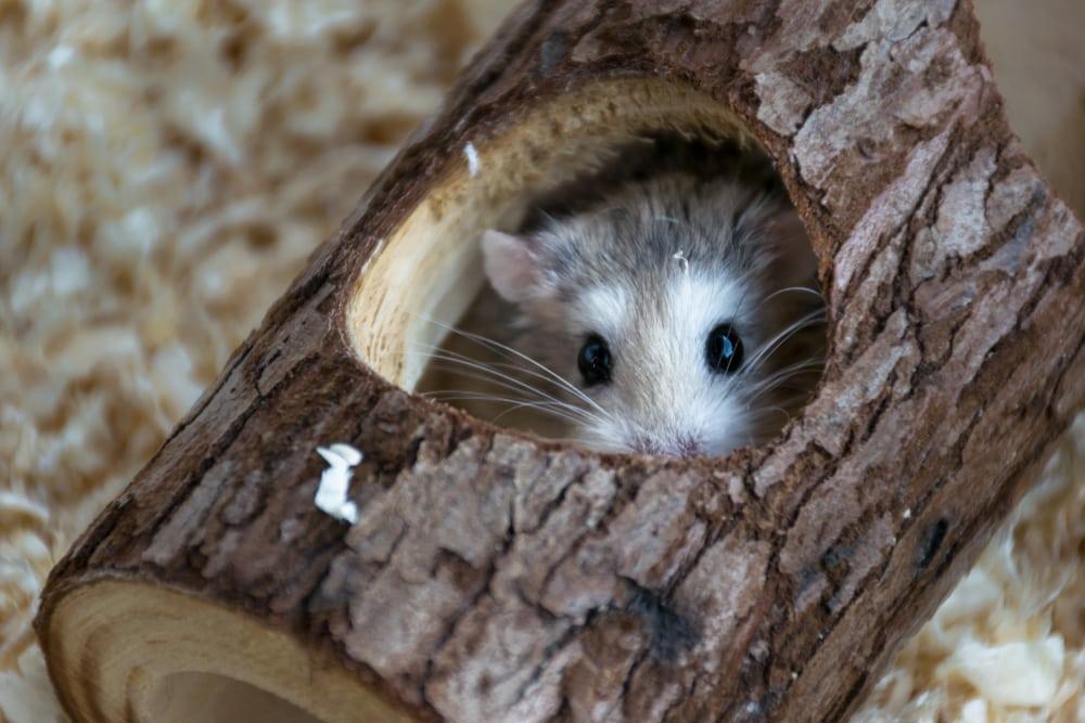 hamster hide in log