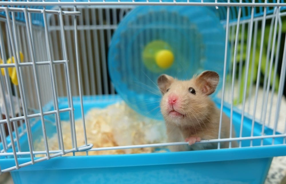 hamster in cage2