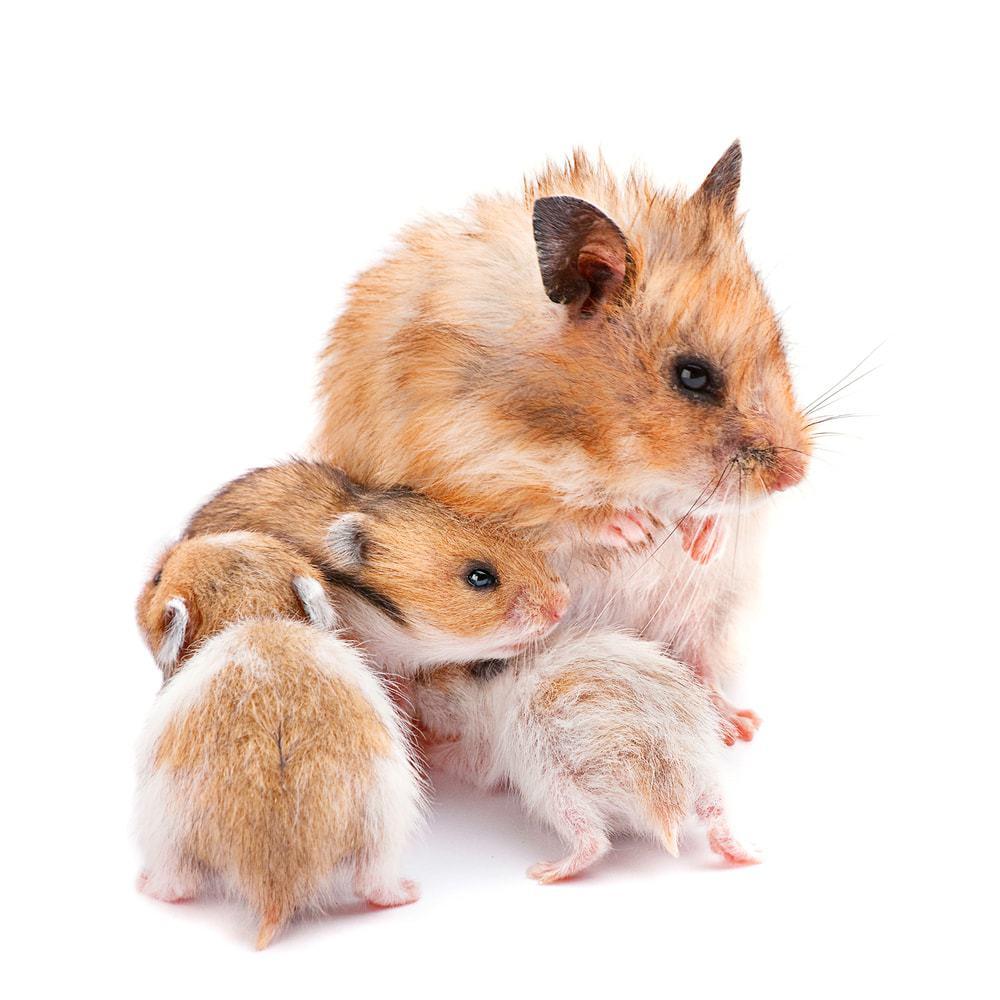 hamster kids
