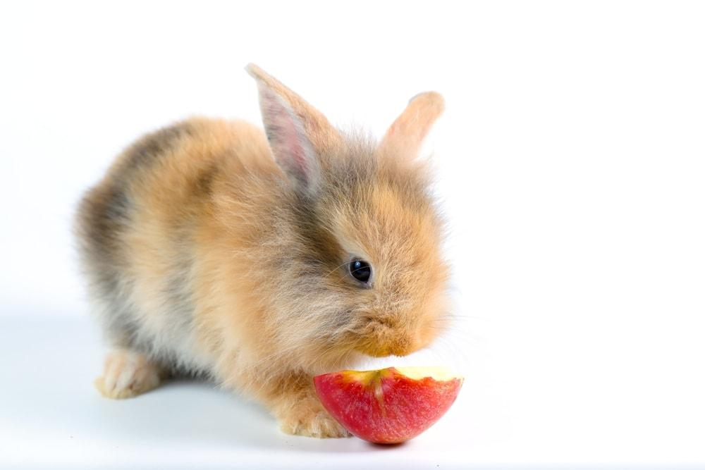 rabbit eat apple