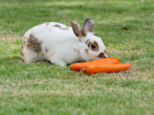 rabbit eat carrot 2