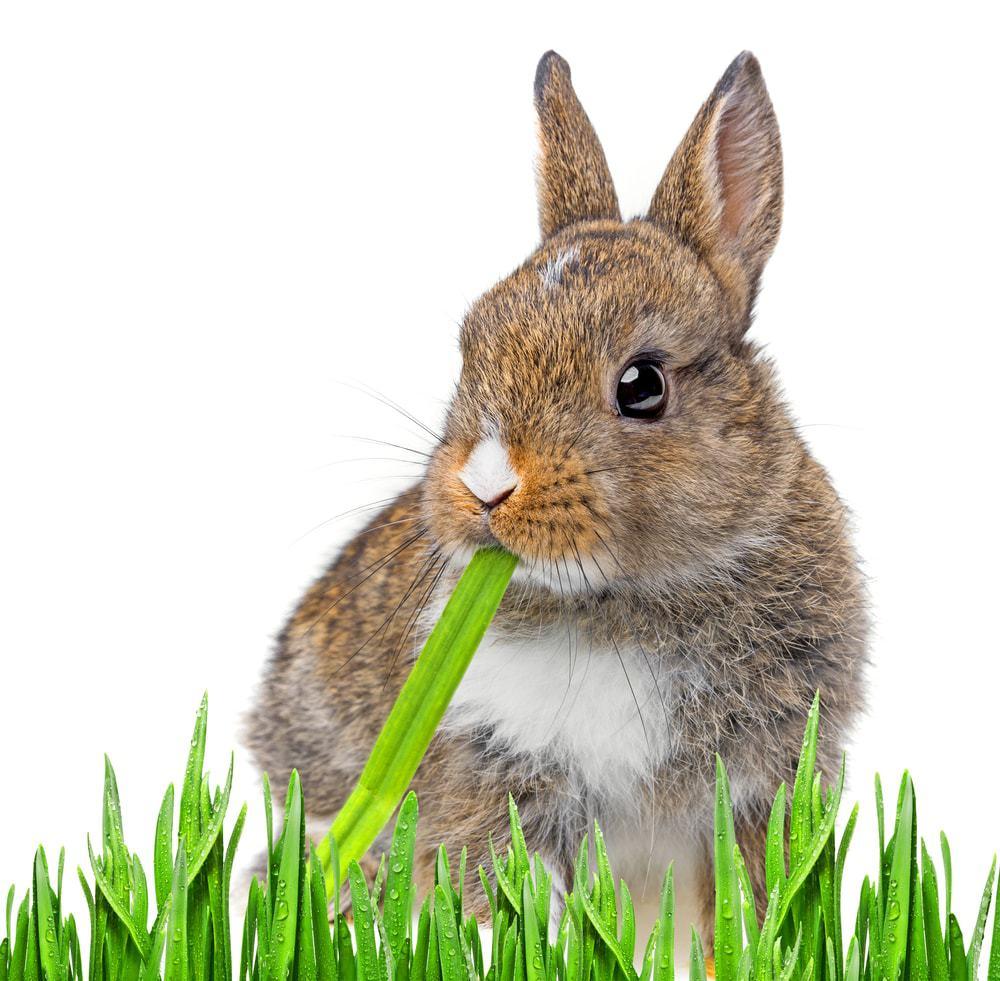 rabbit eat grass