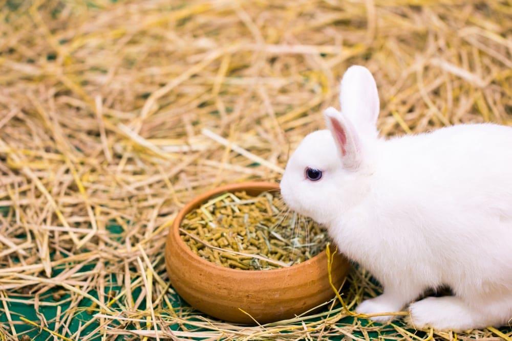 rabbit eat pellets