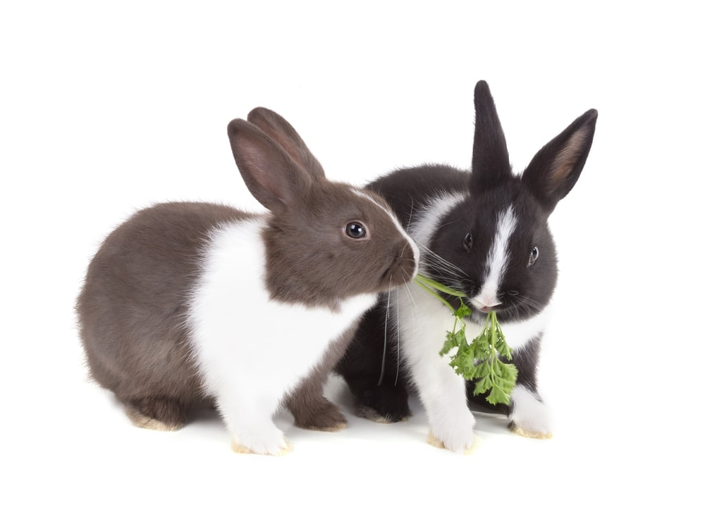two rabbit eat