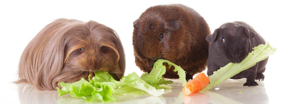 3 guinea pigs vegetables e1590161963871
