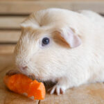 What Do Guinea Pigs Eat? - Diet Guide