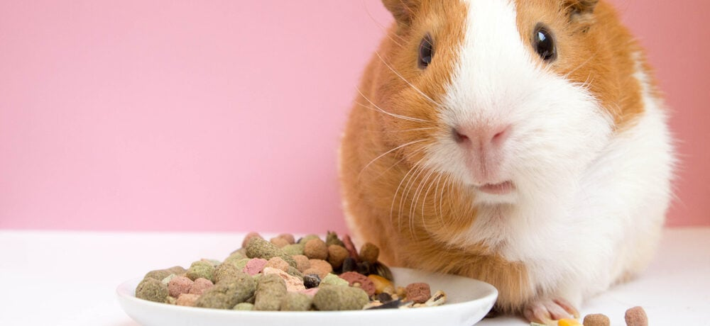 Guinea Pig eats food e1589635735420