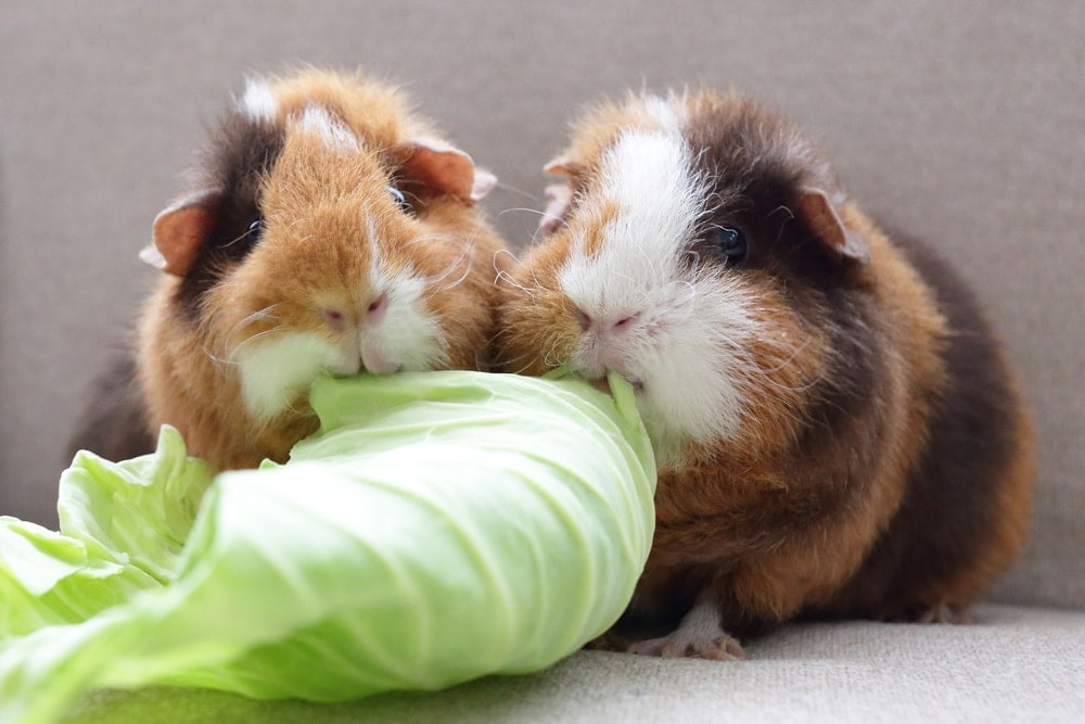 Guinea Pigs and cabbage