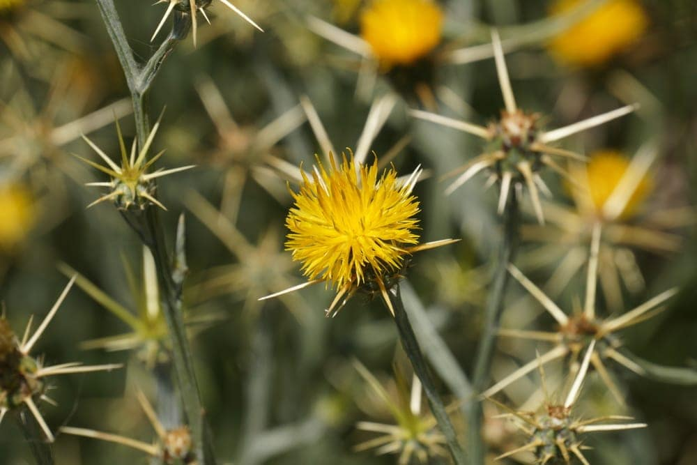 Yellow Star Thistle