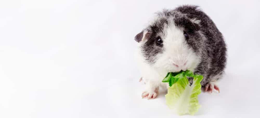 baby guinea pig cute e1589648226774