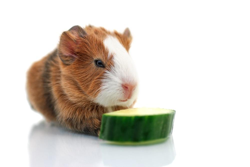 baby guinea pig eats cucumber