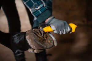 cleaning horse hoove