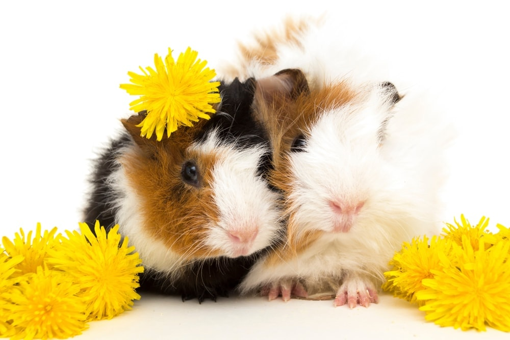 couple of guinea pig s
