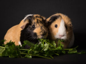 couple of guinea pigs eating