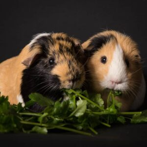 Can Guinea Pigs Eat Spinach?
