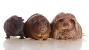different guinea pigs breeds 1